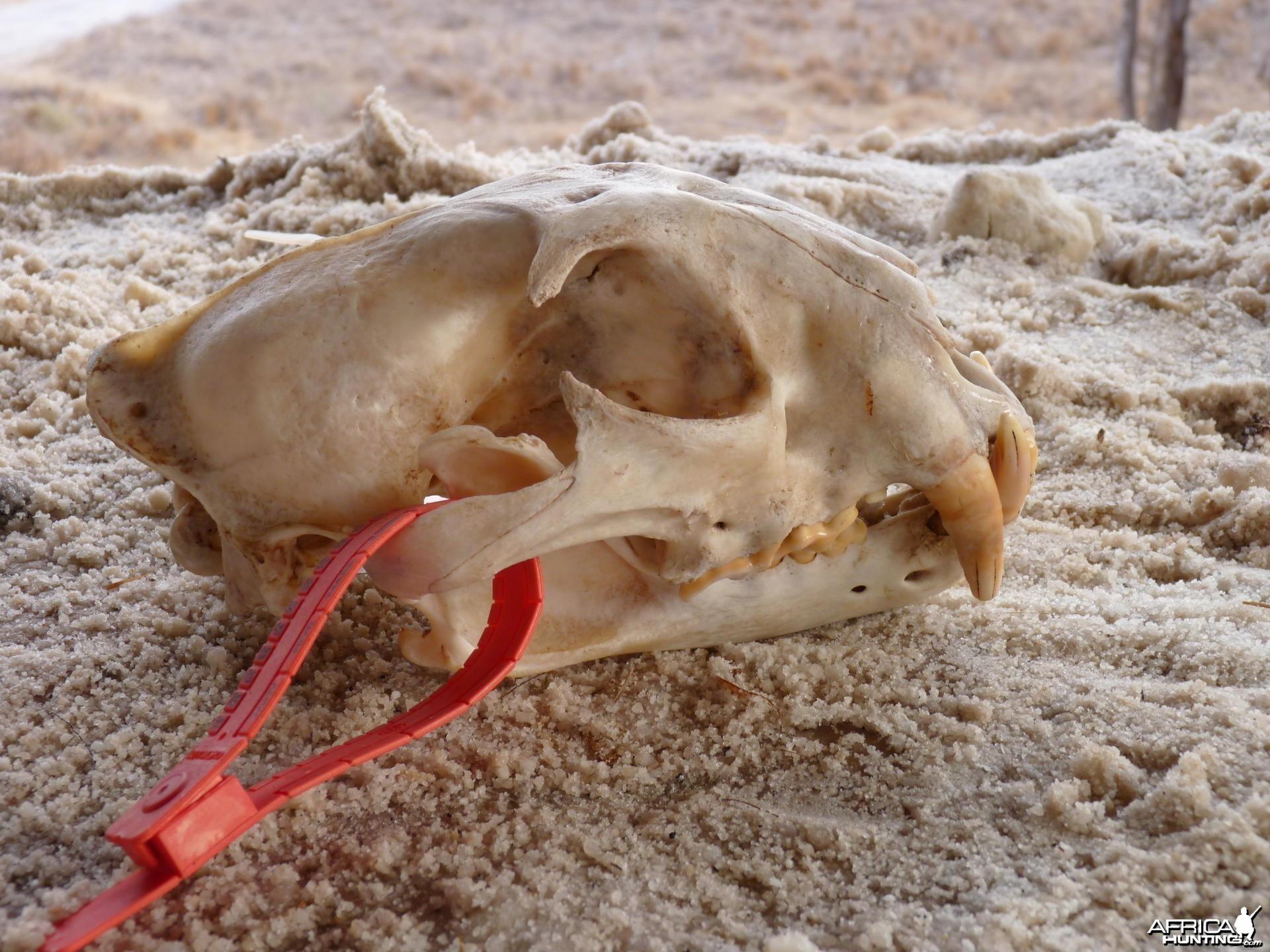 Lion skull Tanzania