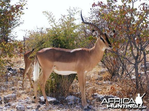 Impala at Etosha