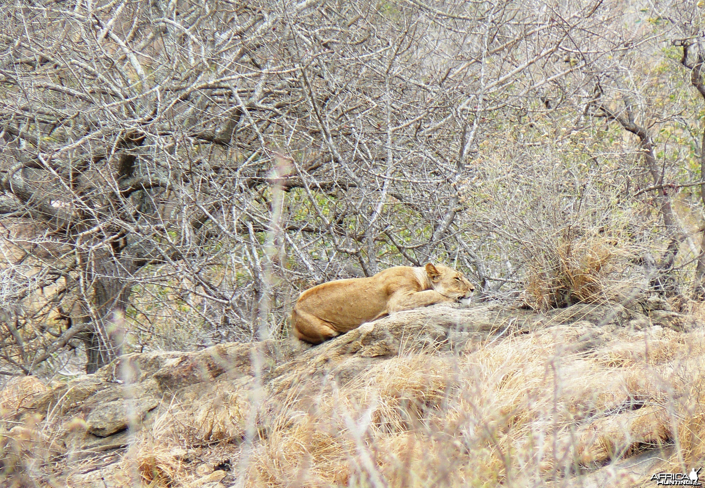 Lioness on spy point...