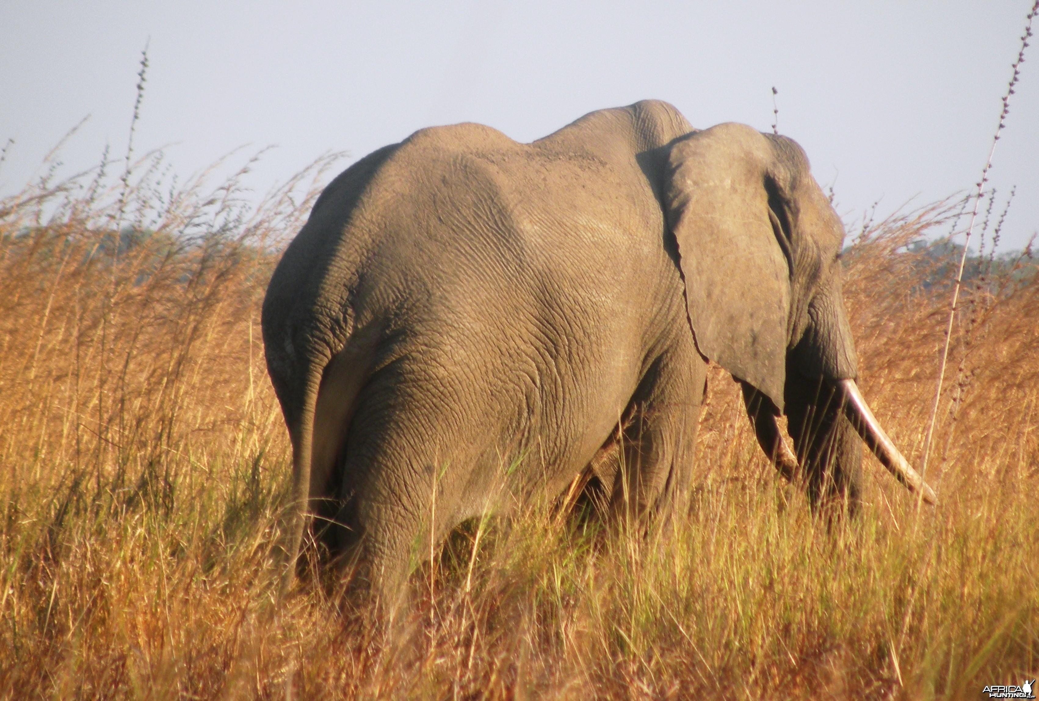 Tembo in Selous