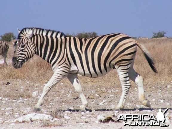 Zebra at Etosha