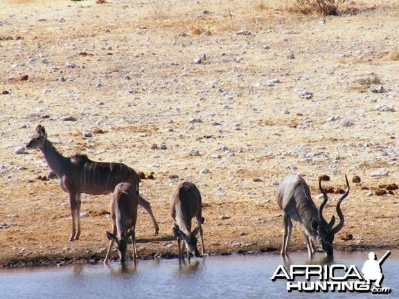 Kudu at Etosha