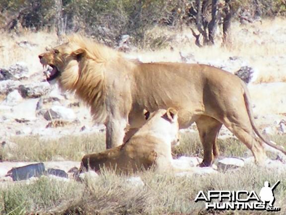 Lion at Etosha