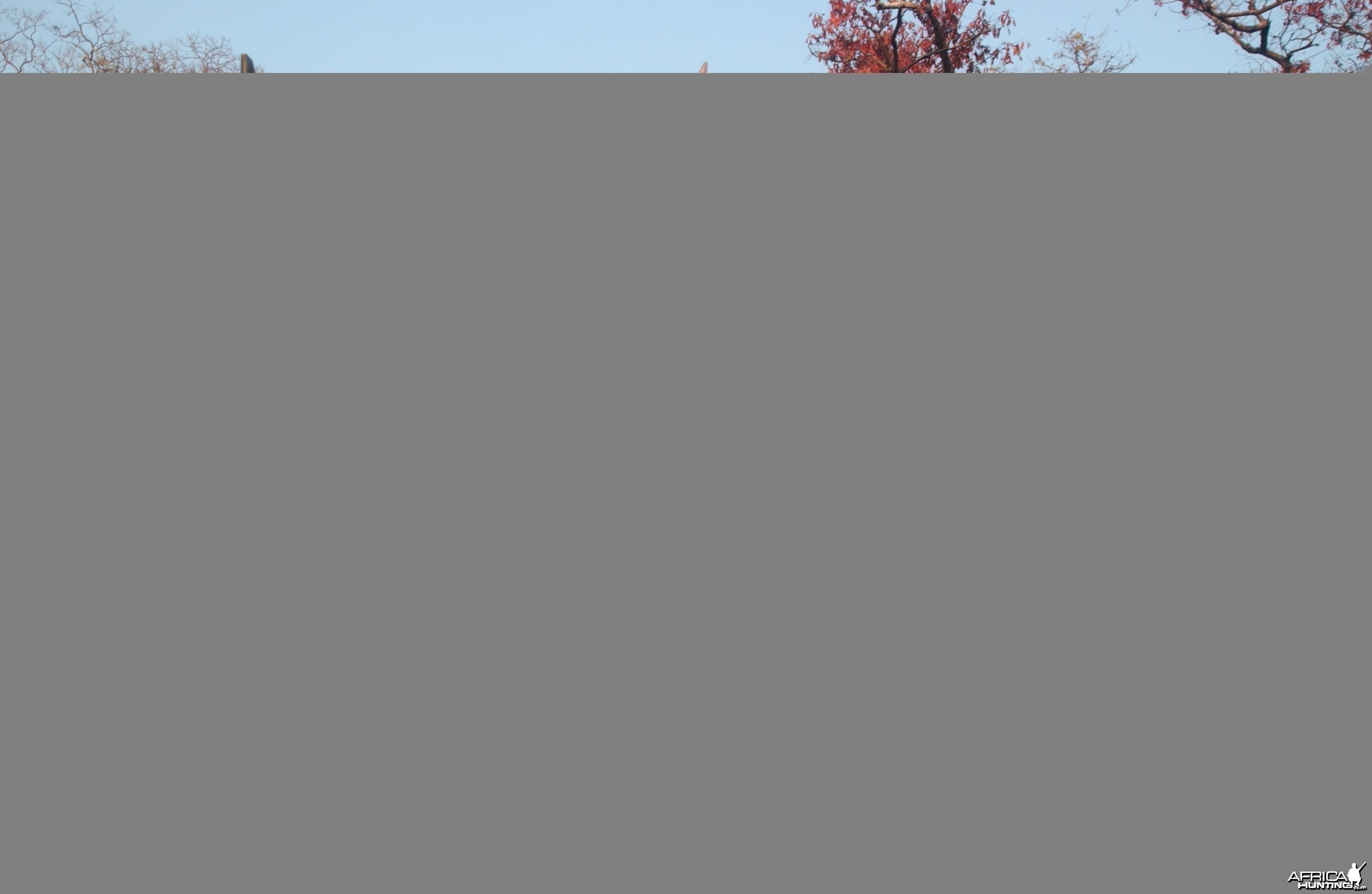 East African Kudu