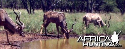 Kudu bull's at Spiral Horn Safaris