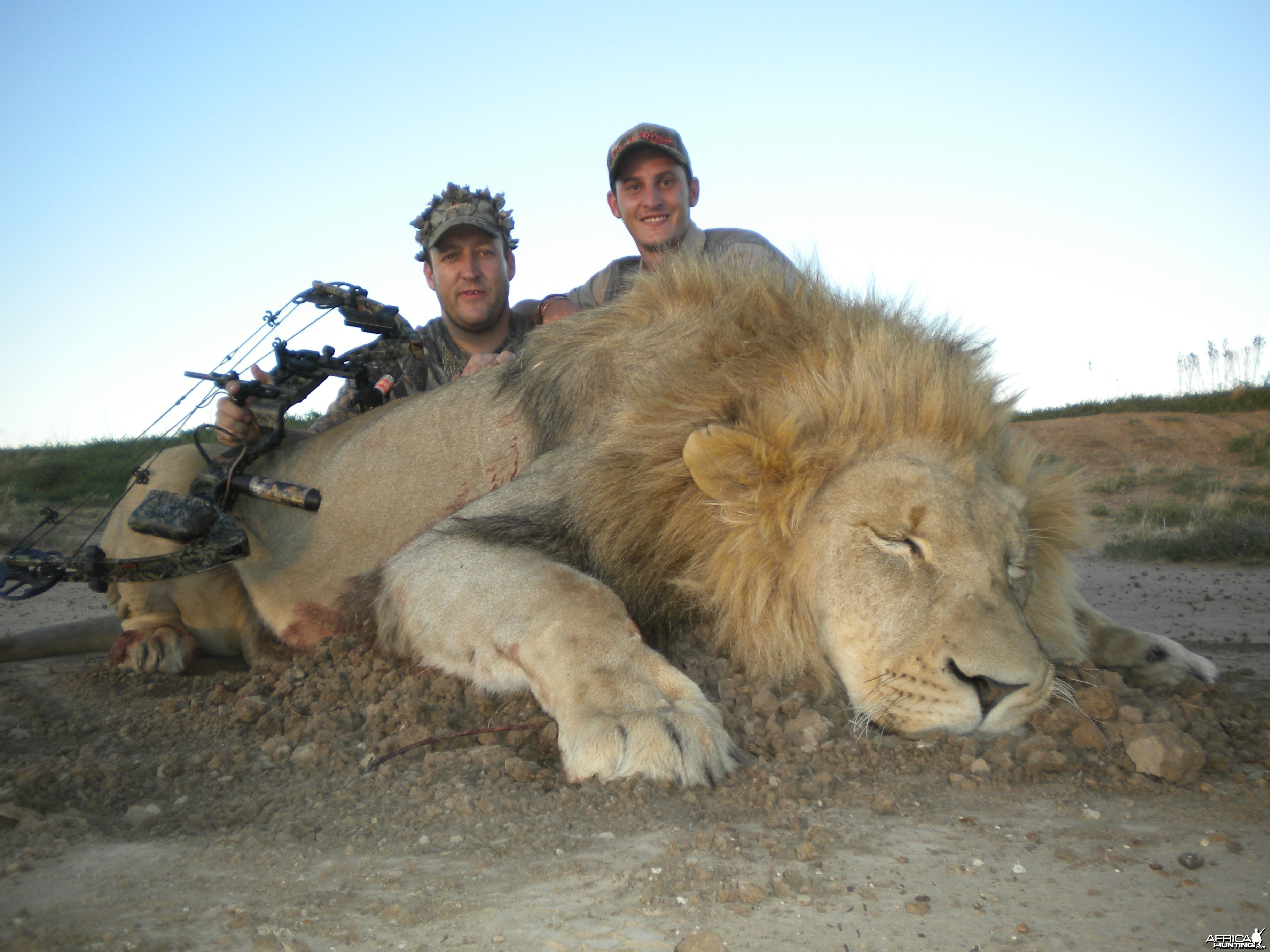 Bow Hunted Lion