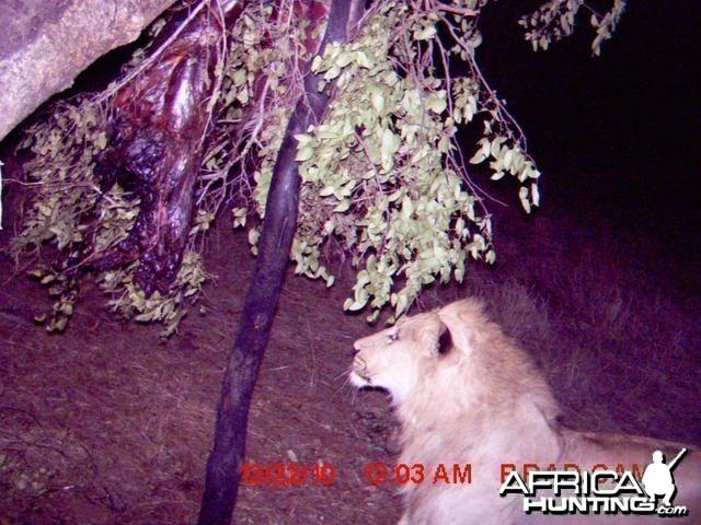 Lion on trailcam