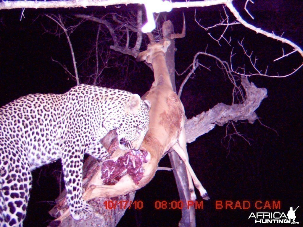 Leopard on trailcam