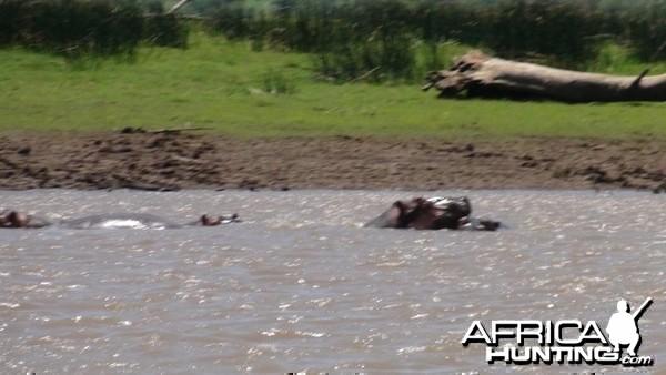 Hippos South Africa