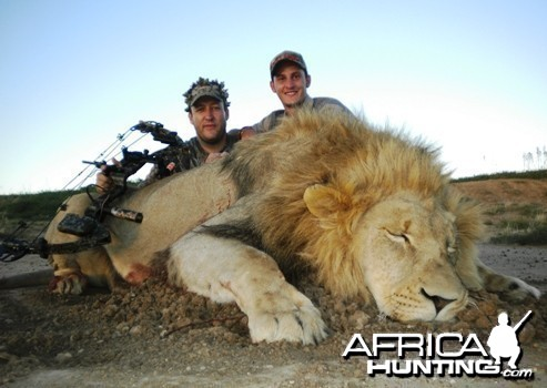 Male Lion bow hunt