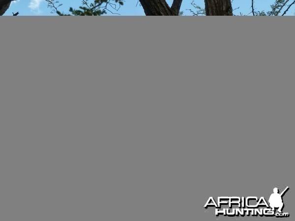 Black Mamba in a tree, Namibia