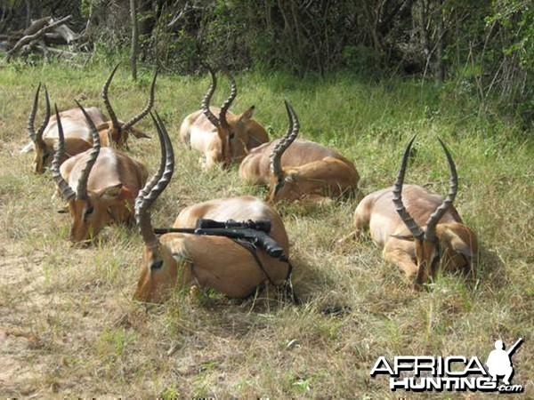 Within the 6 day hunt I got 13 Impalas