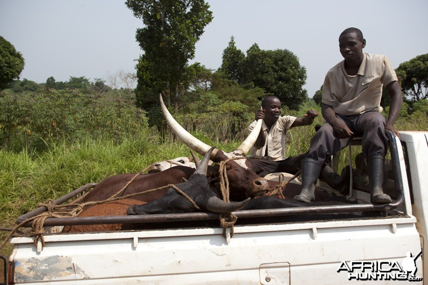 Cattle in pickup, Uganda