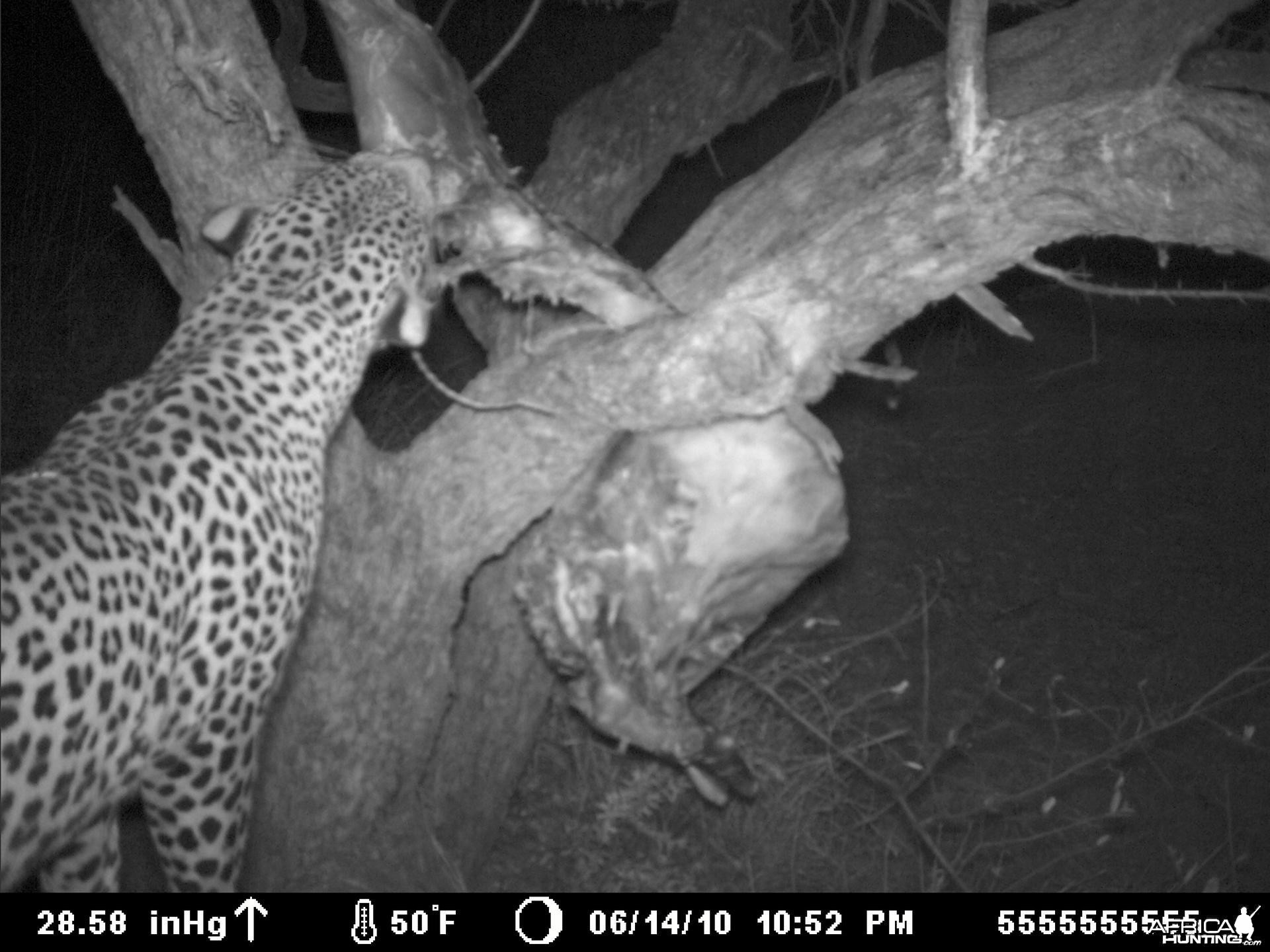 Leopard on bait