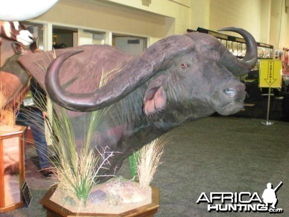 Taxidermy Buffalo