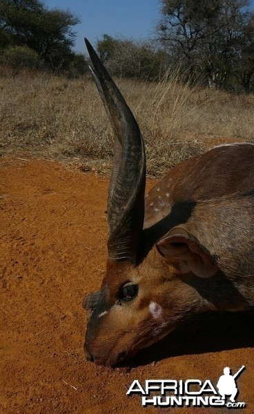 3-horn Limpopo Bushbuck taken in the Limpopo province in South Africa