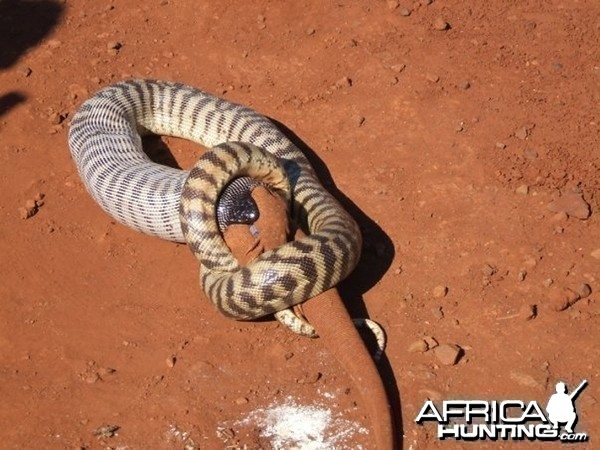 Black Headed Python swallowing Lizard