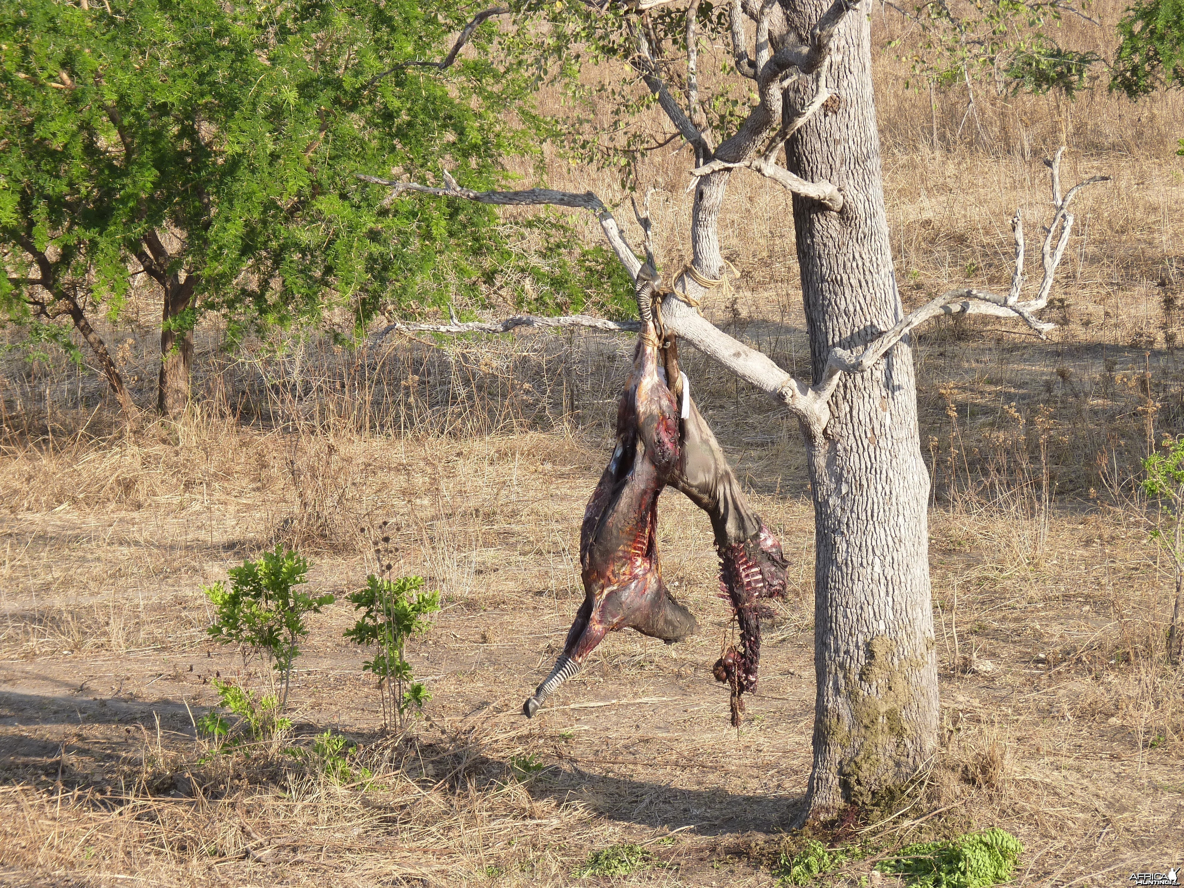 Baiting for dangerous game in Tanzania