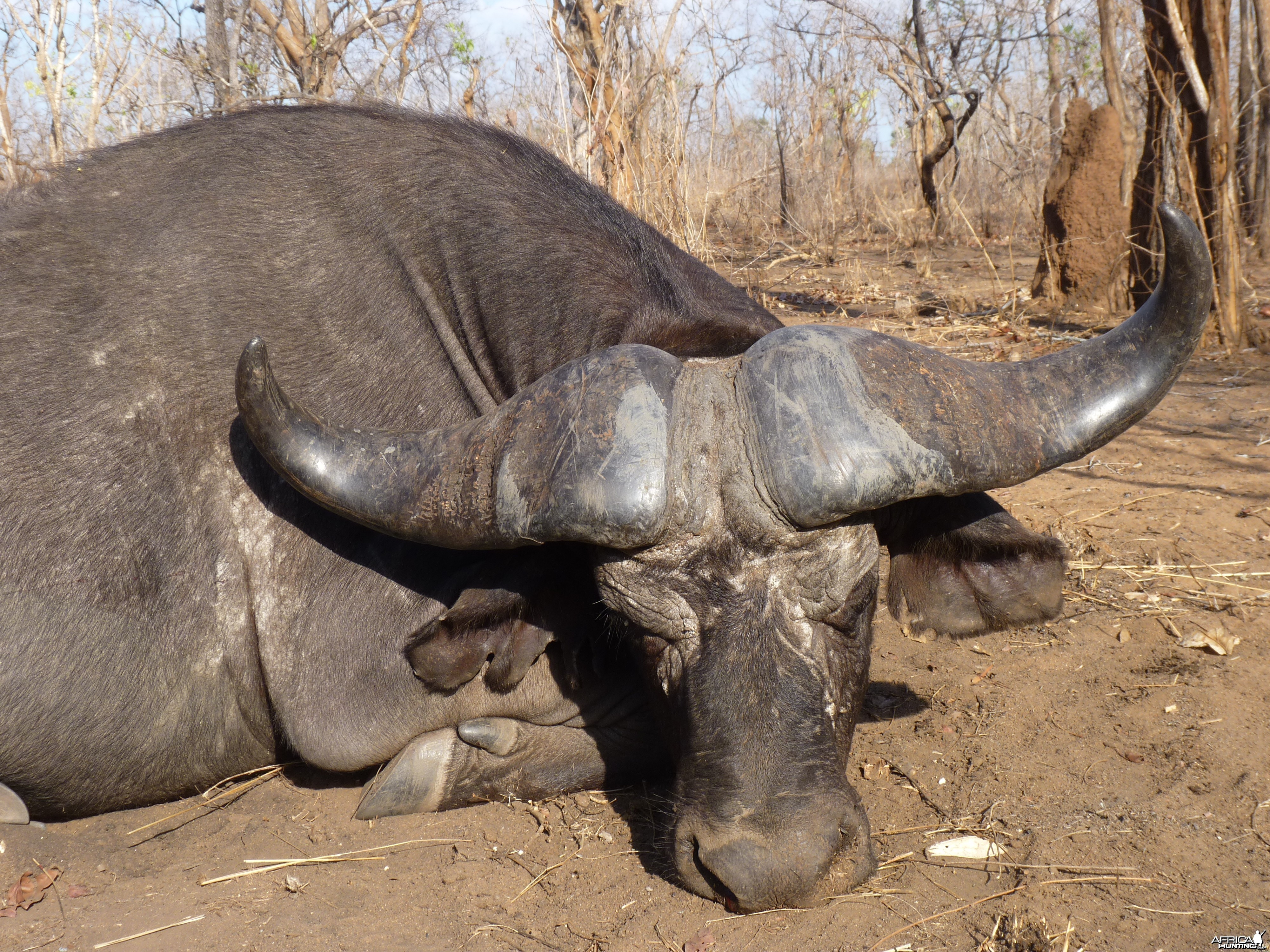 Cape buffalo hunt Tanzania