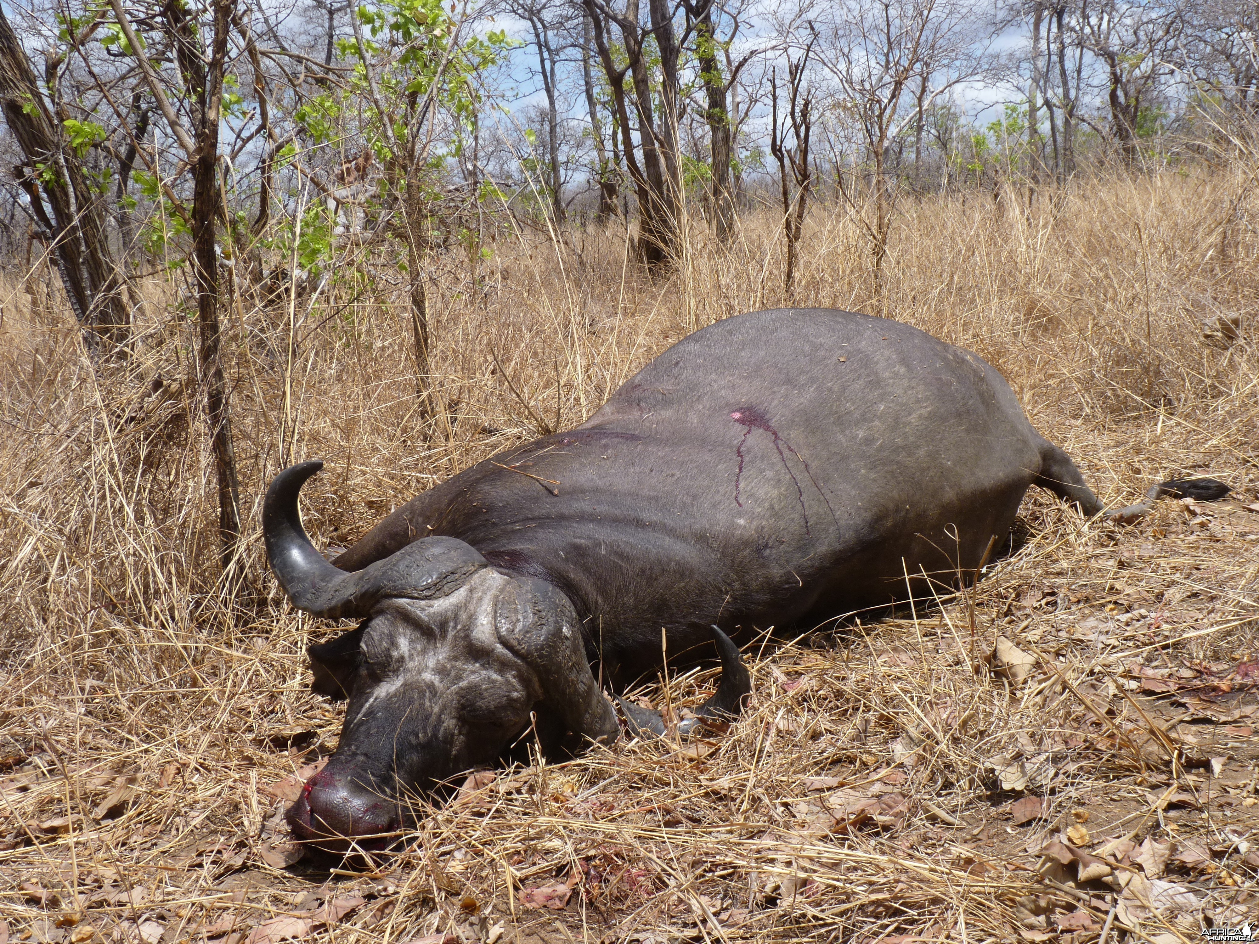 Cape Buffalo hunting Tanzania