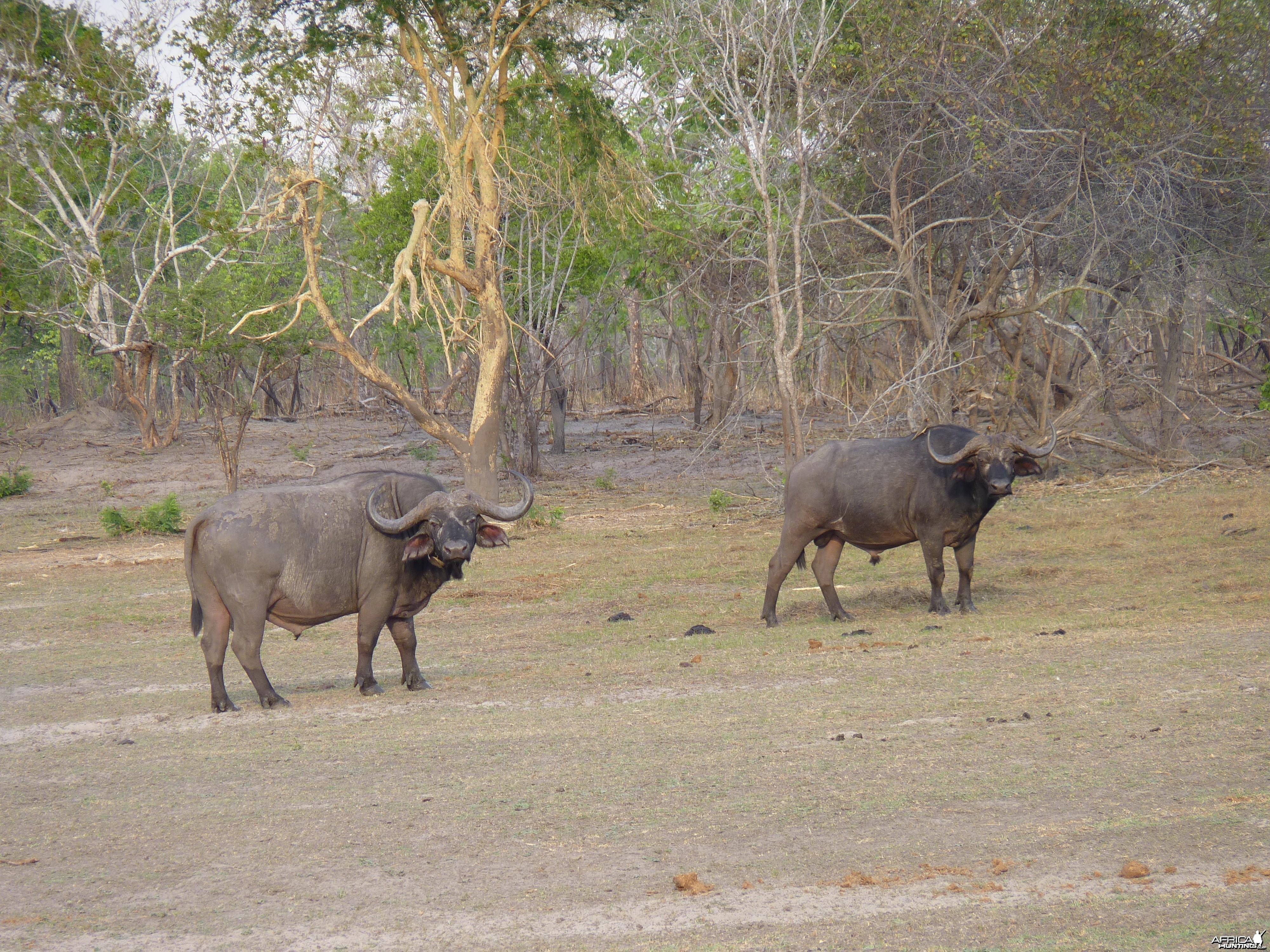 Cape Buffalo Tanzania