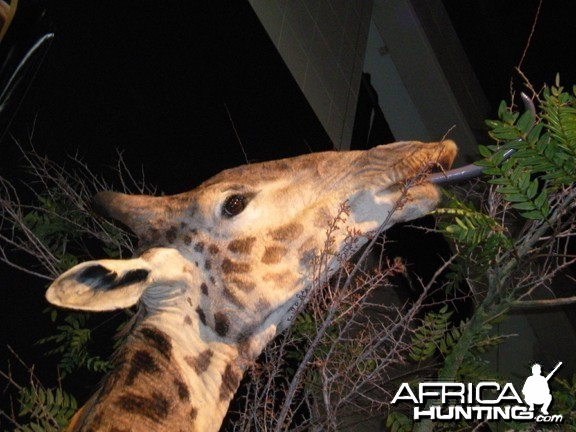 Taxidermy Giraffe