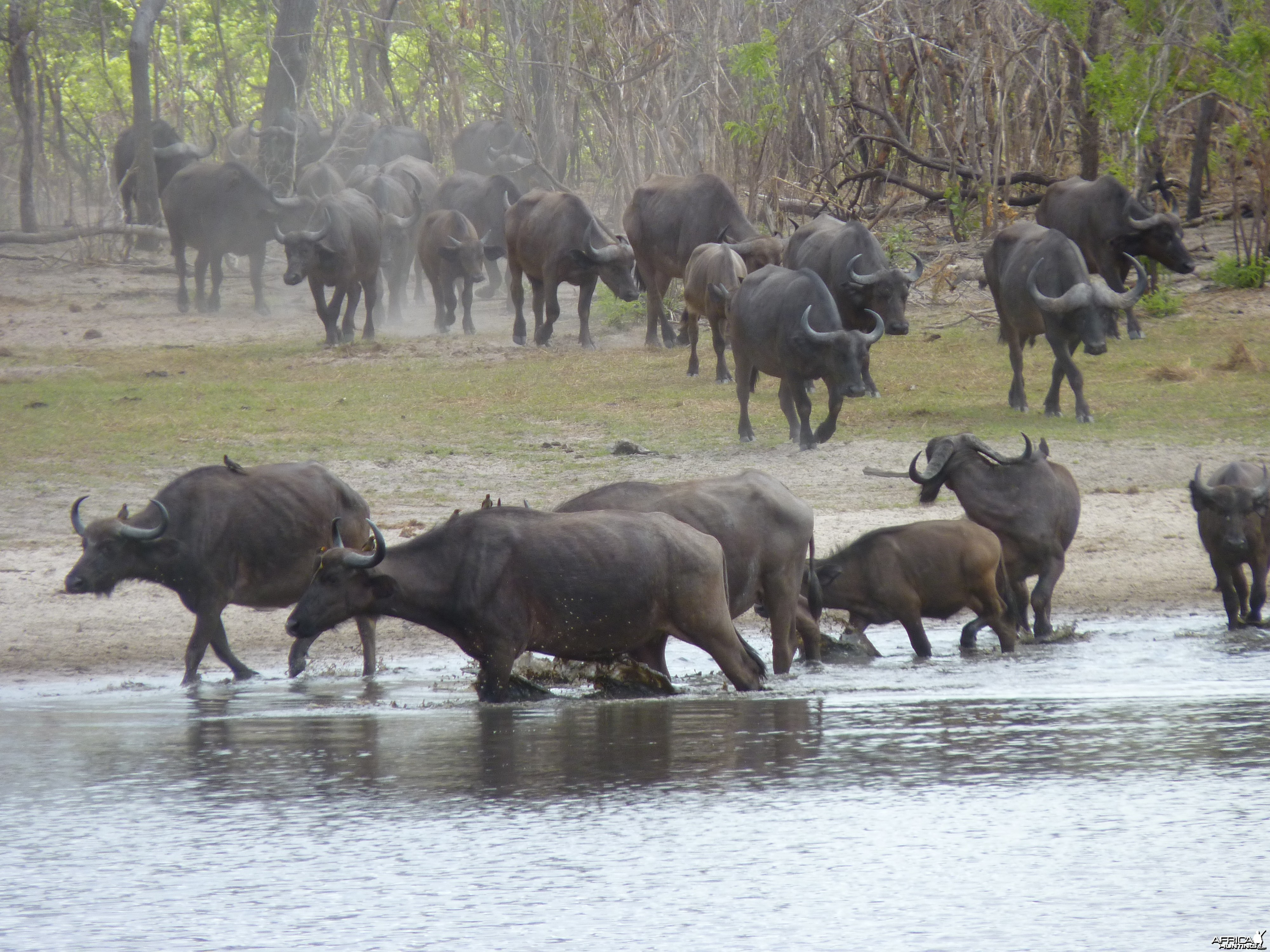 Cape Buffalo in Tanzania