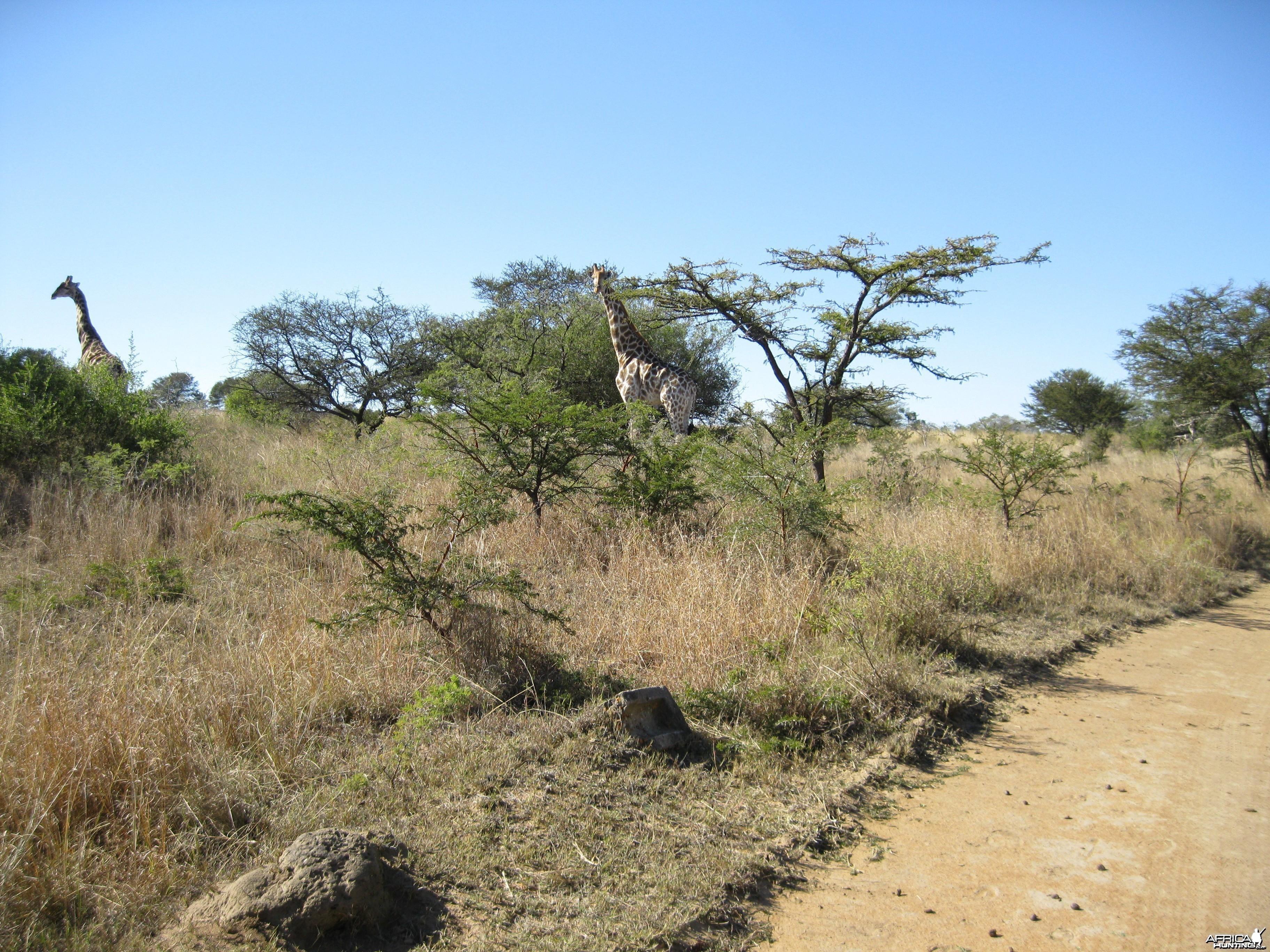 Giraffe  RSA   2009