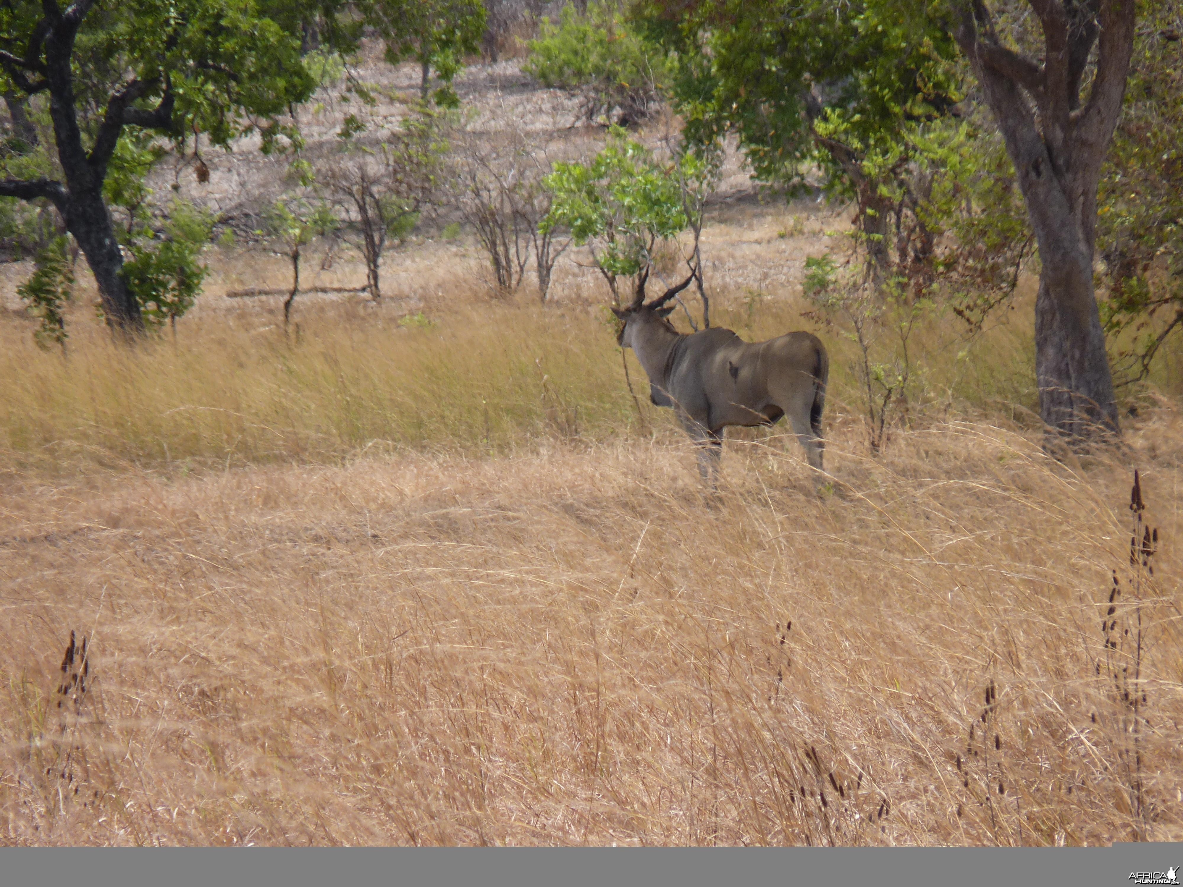 East African Eland Tanzania