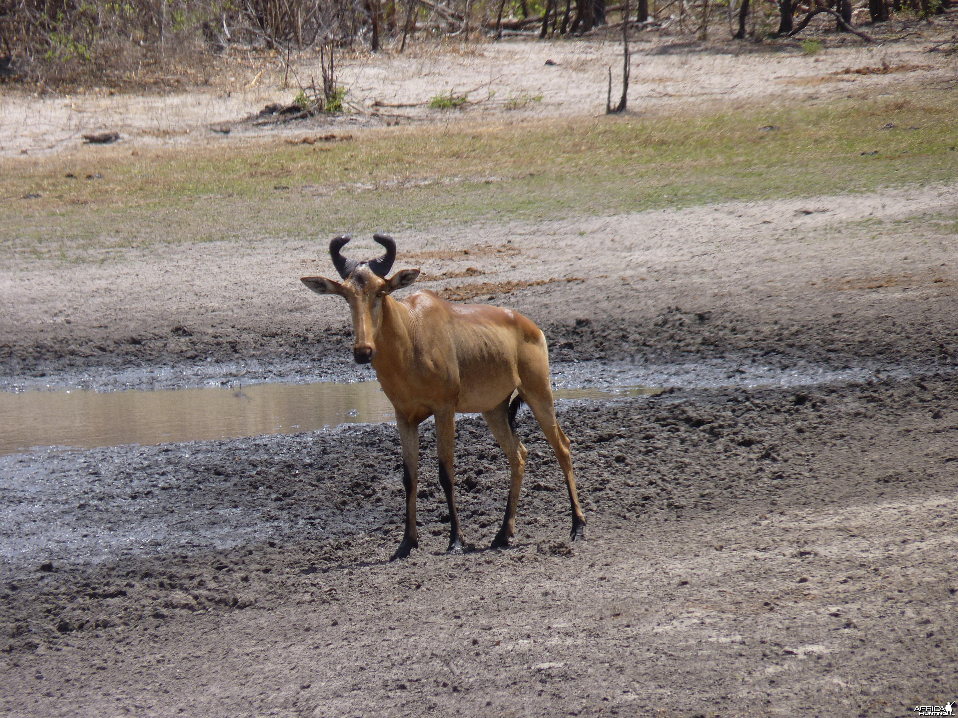 Lichtenstein's Hartebeest in Tanzania