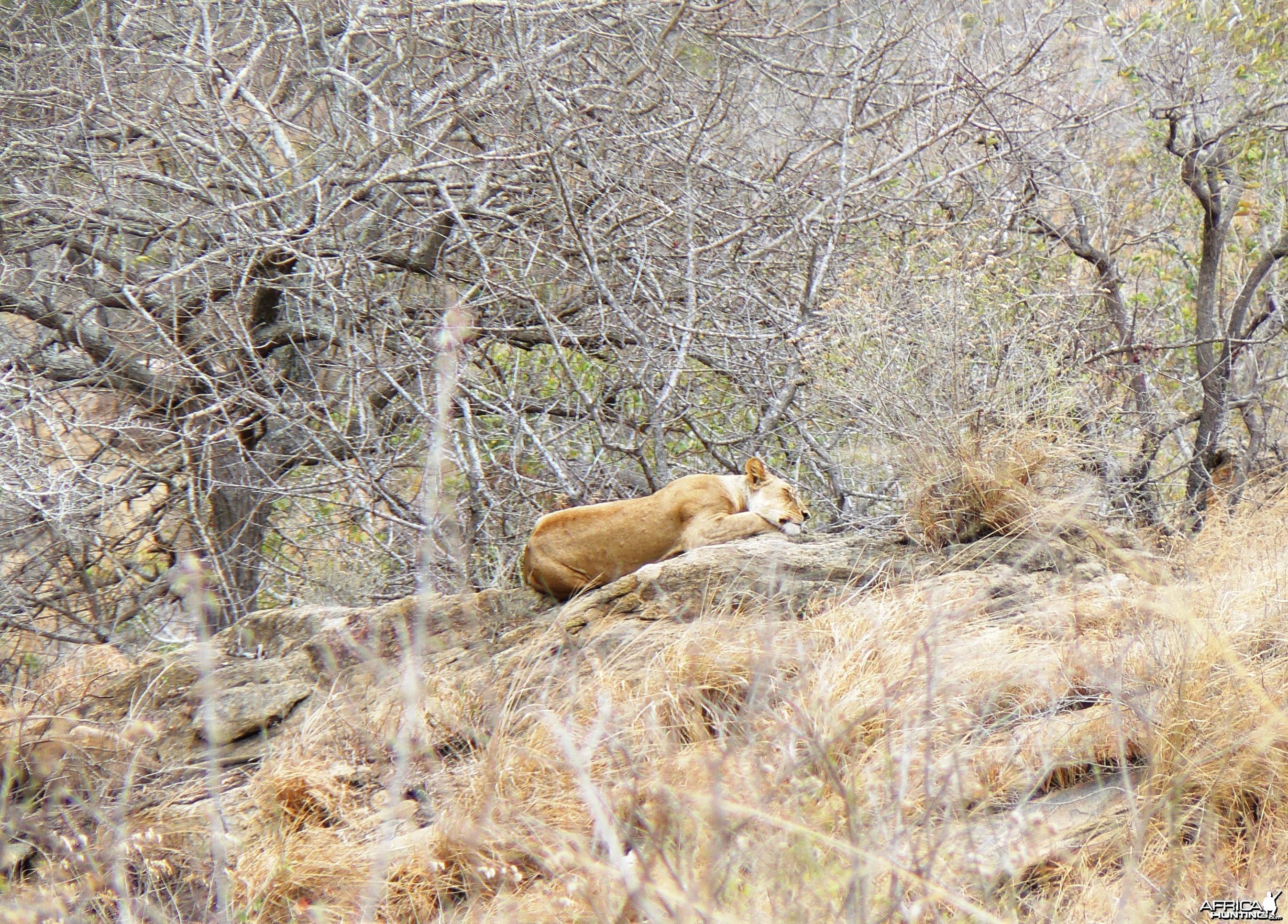 Lioness on spy point... Tanzania