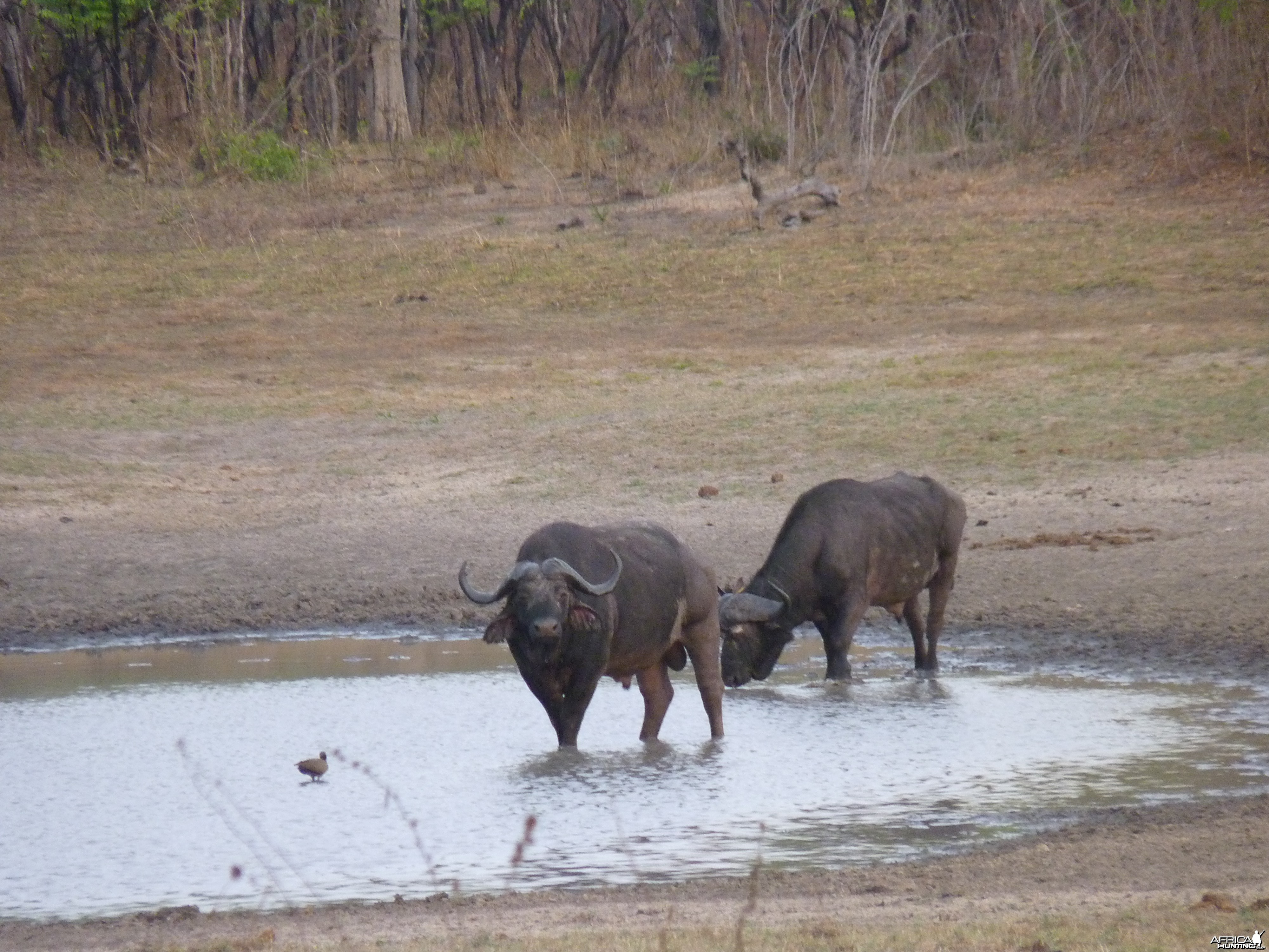 Cape Buffalo hunting in Tanzania