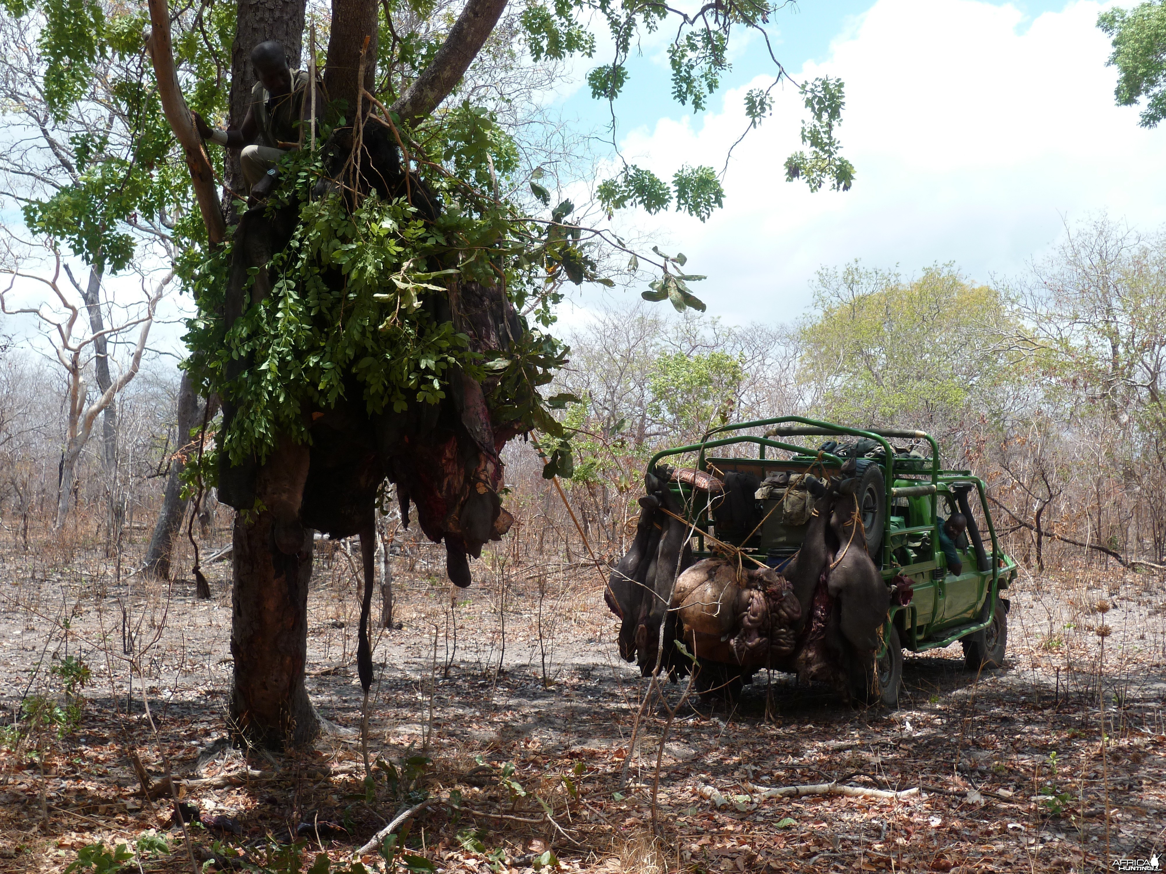 Baiting for dangerous game hunting in Tanzania