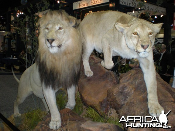 Taxidermy Lion & Lioness
