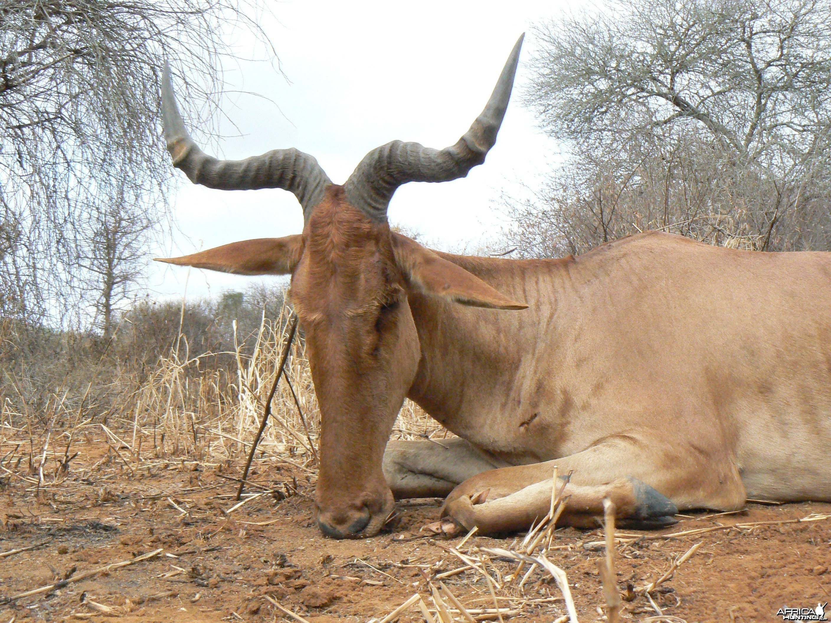 "19"" Coke hartebeest hunted in Tanzania"