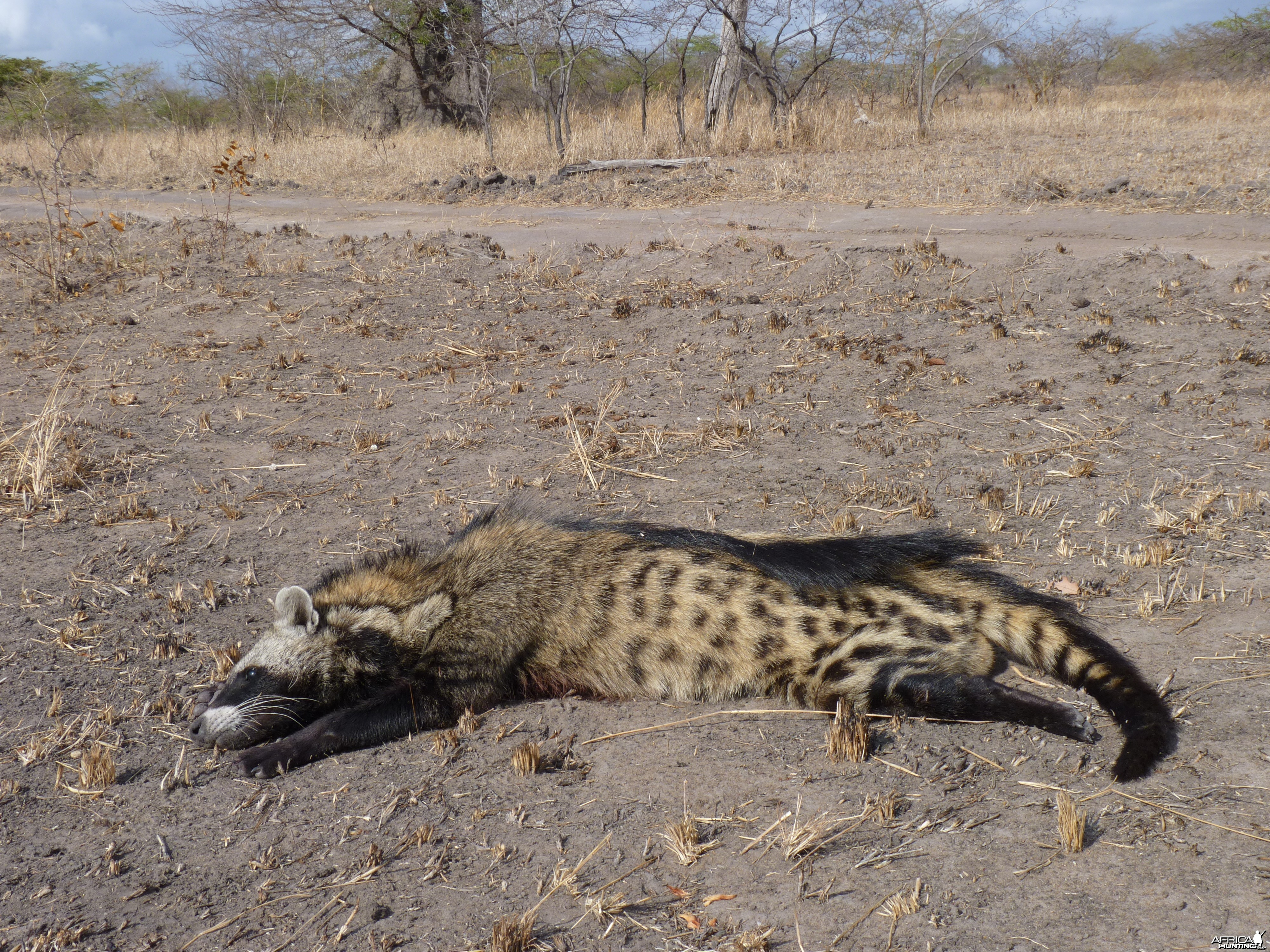 Civet Cat hunted in Tanzania