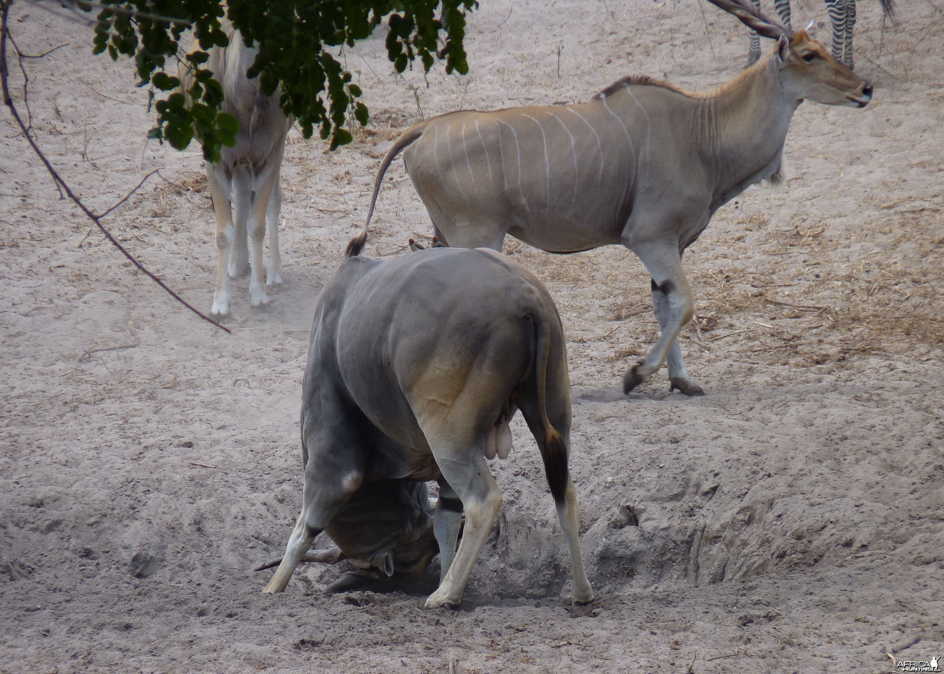 East African Eland in Tanzania