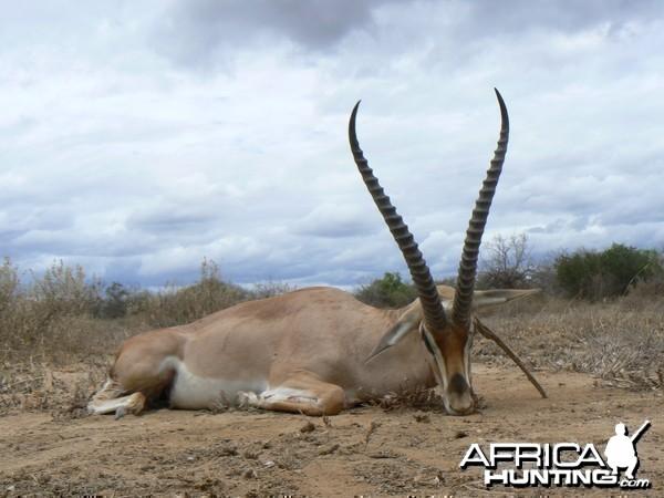 "25"" Grant Gazelle hunted in Tanzania"