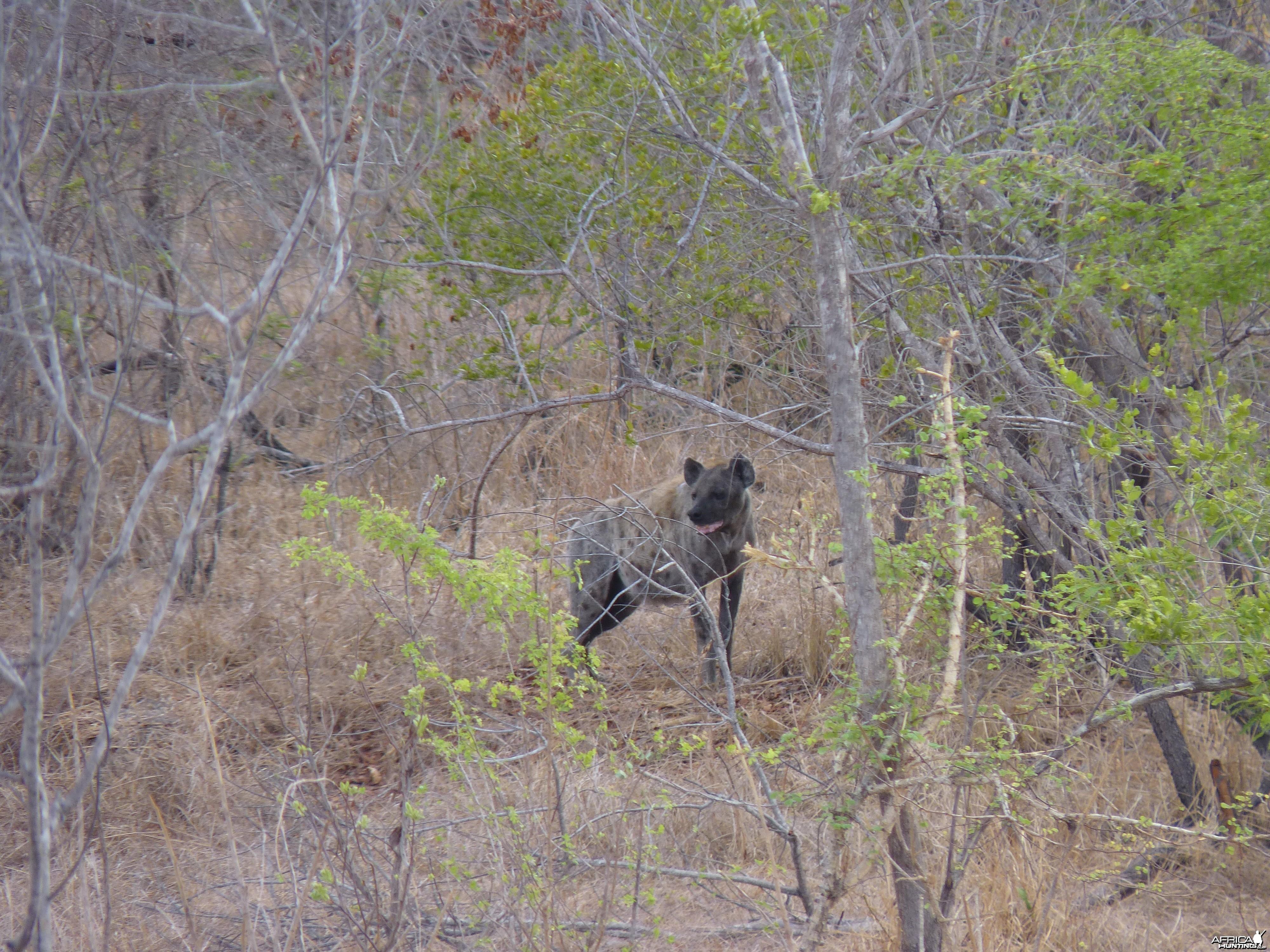 Hunting Hyena in Tanzania