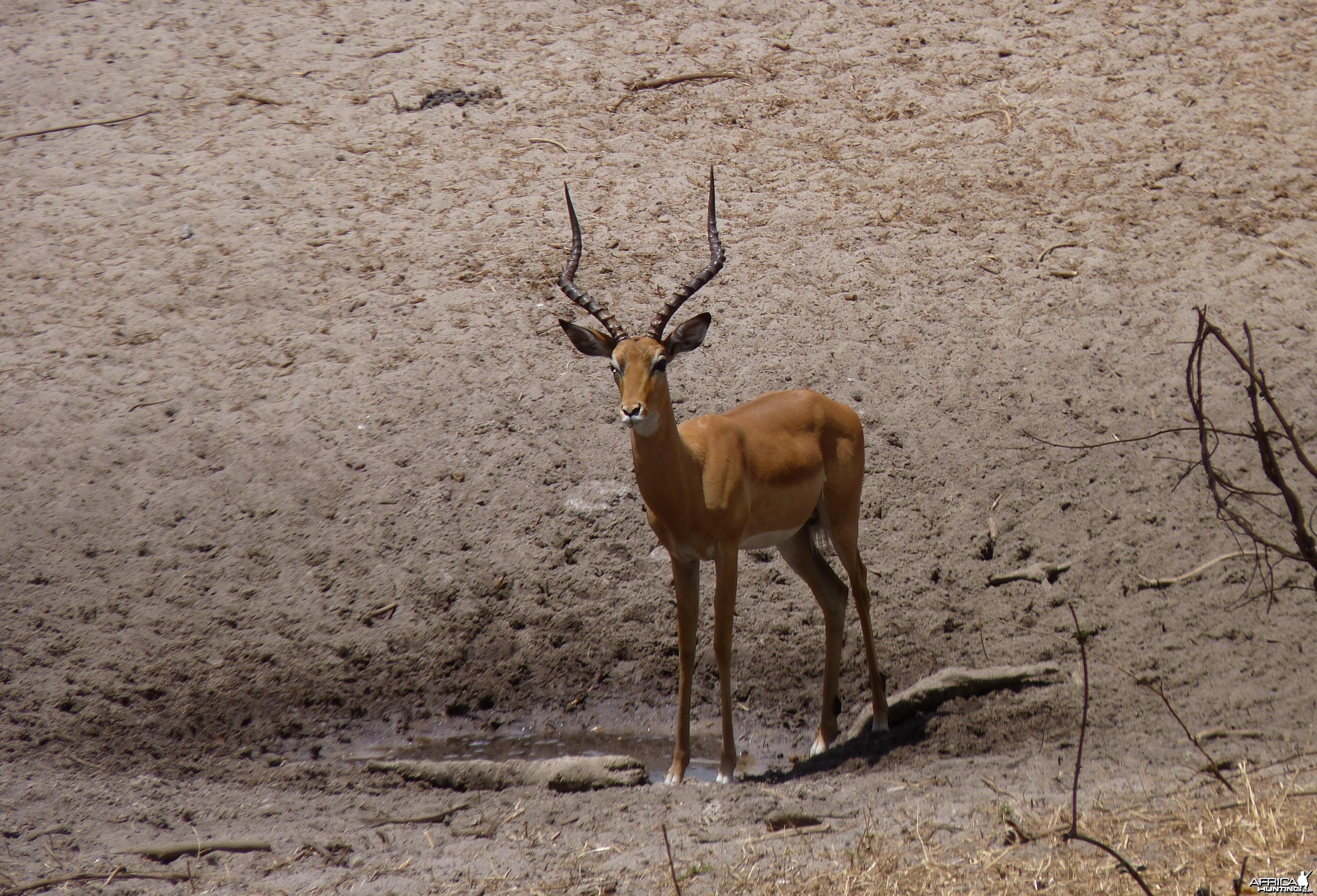 Hunting Impala Tanzania