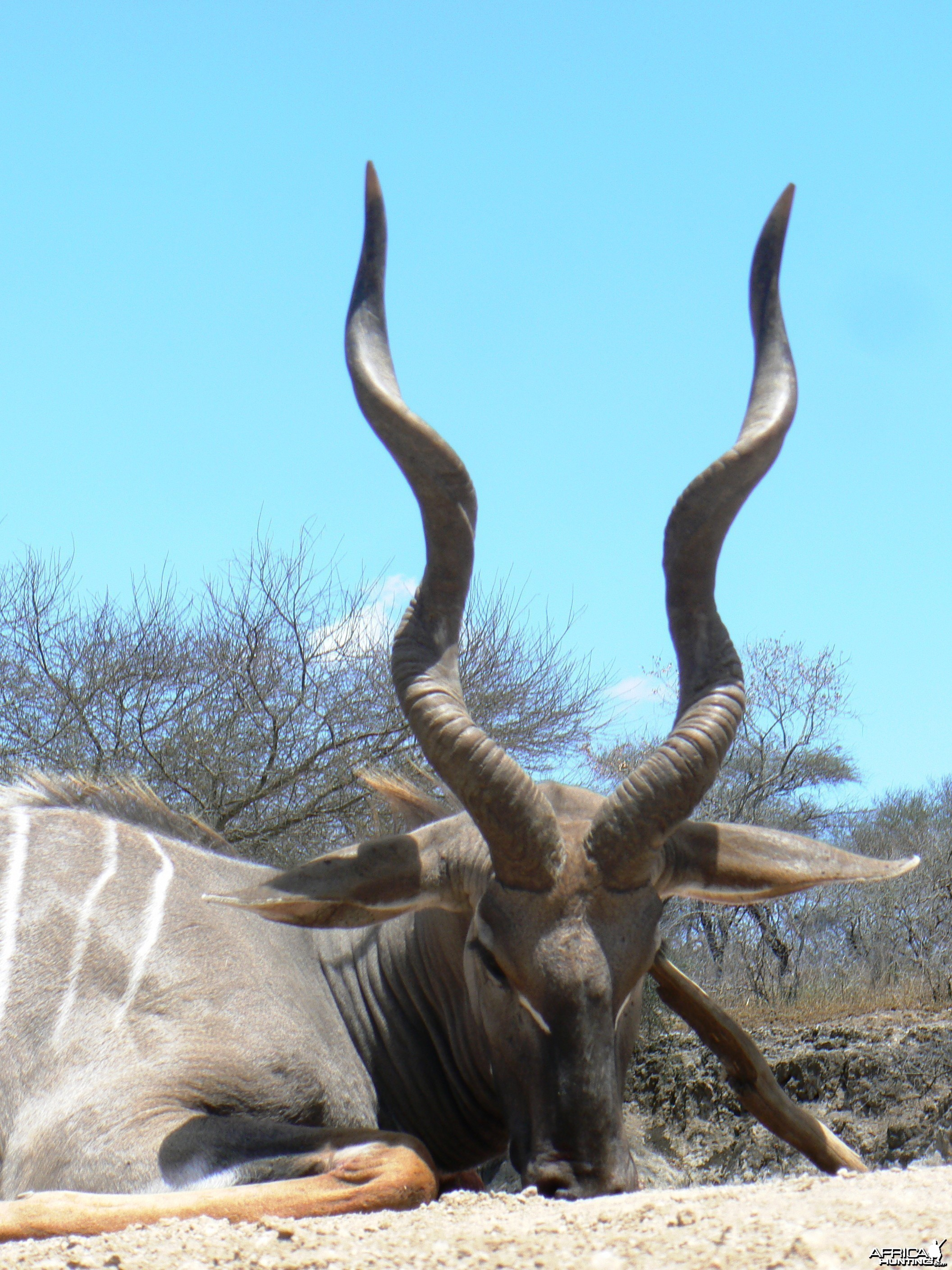 "28"" Lesser Kudu hunted in Tanzania"