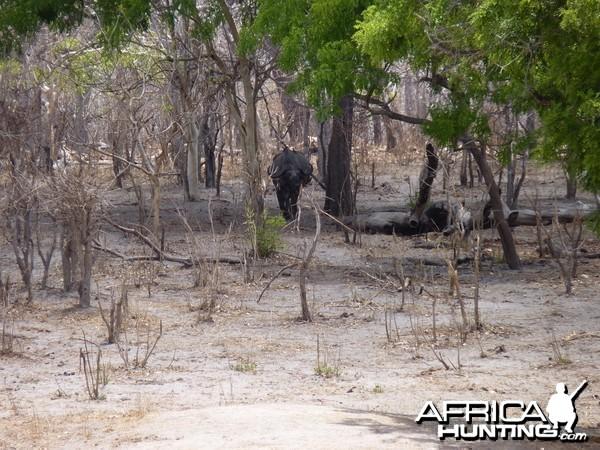 Cape Buffalo in Tanzania