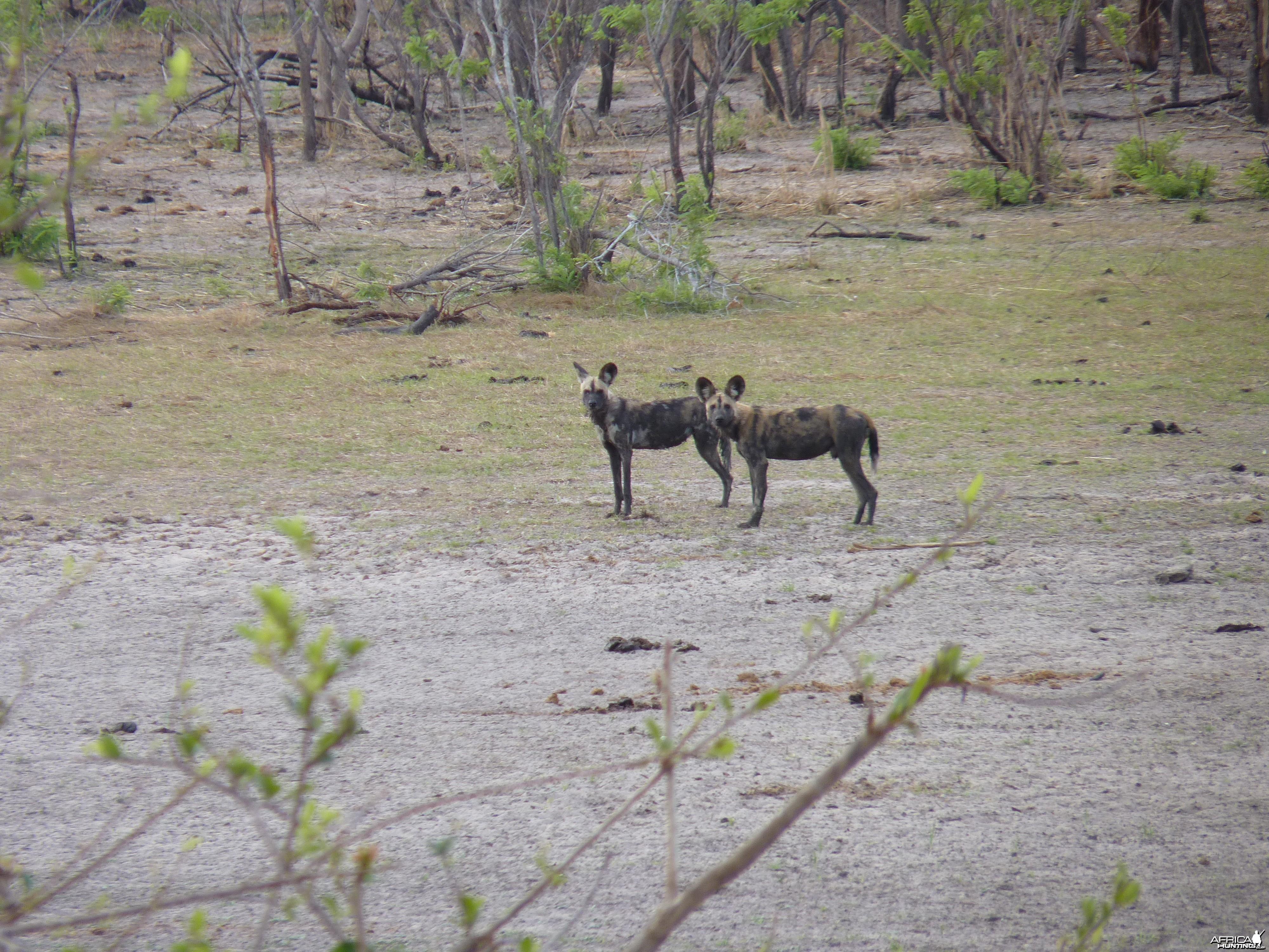 Wild Dogs in Tanzania