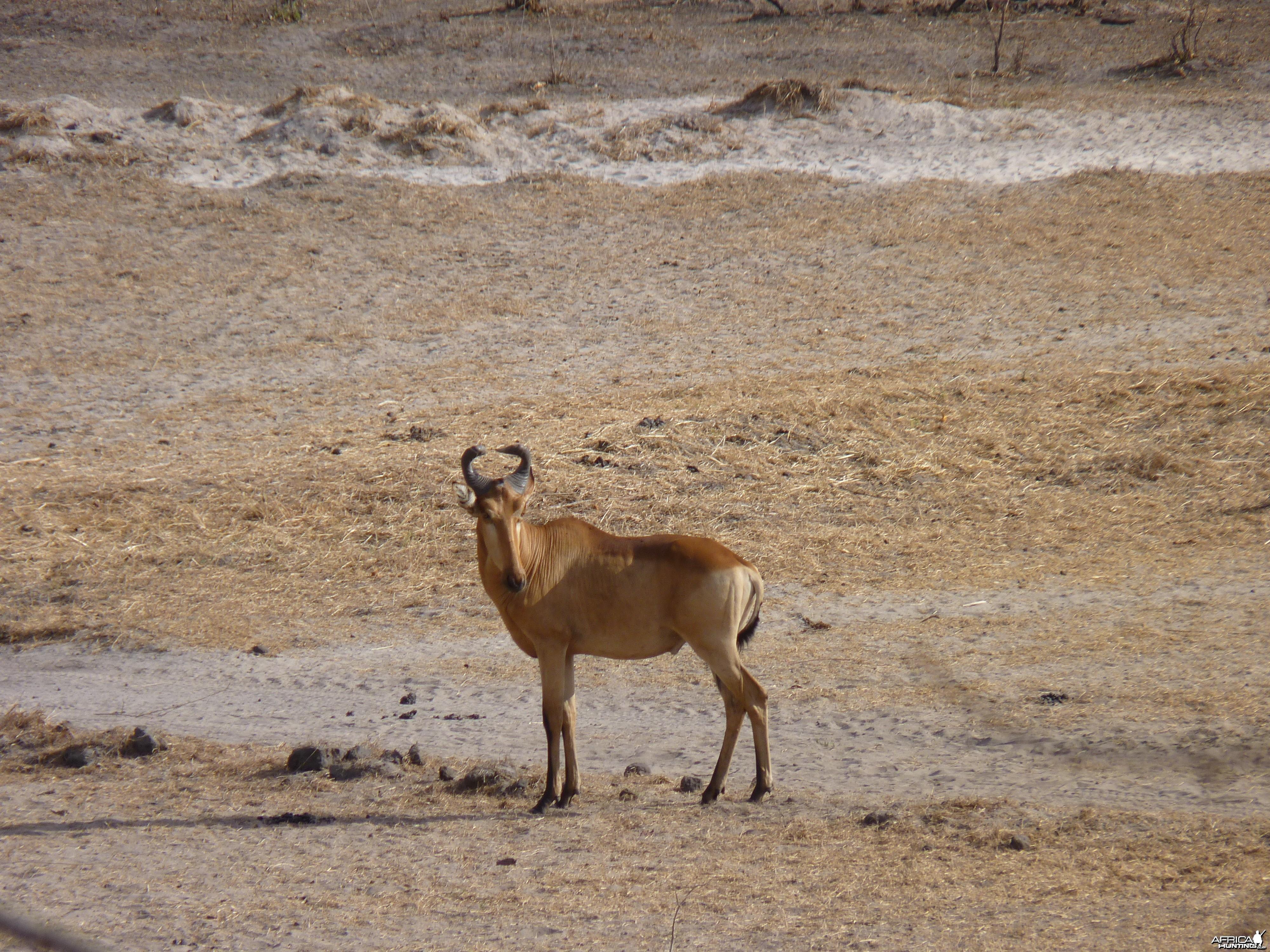 Hunting Hartebeest in Tanzania