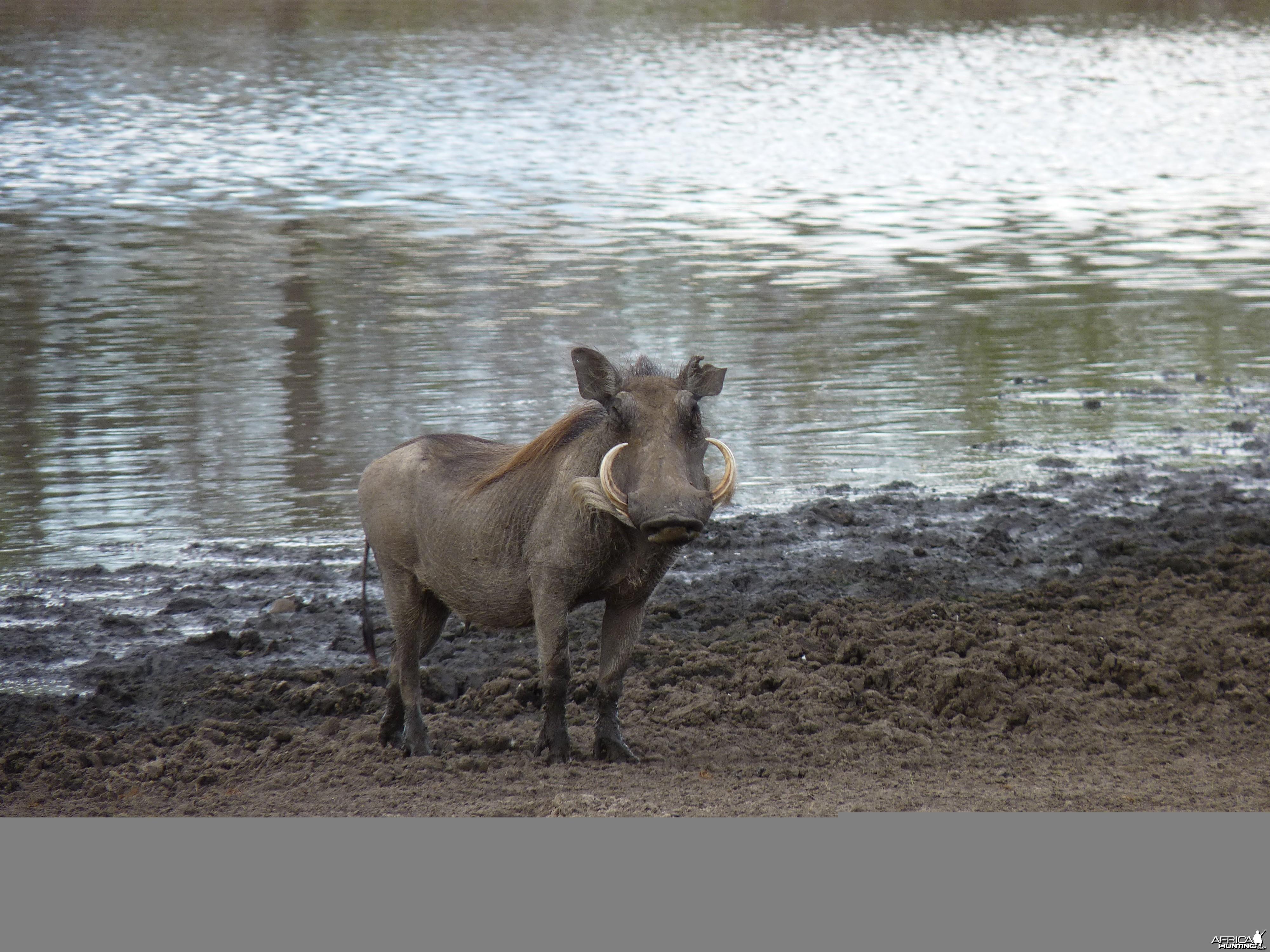 Warthog in Tanzania