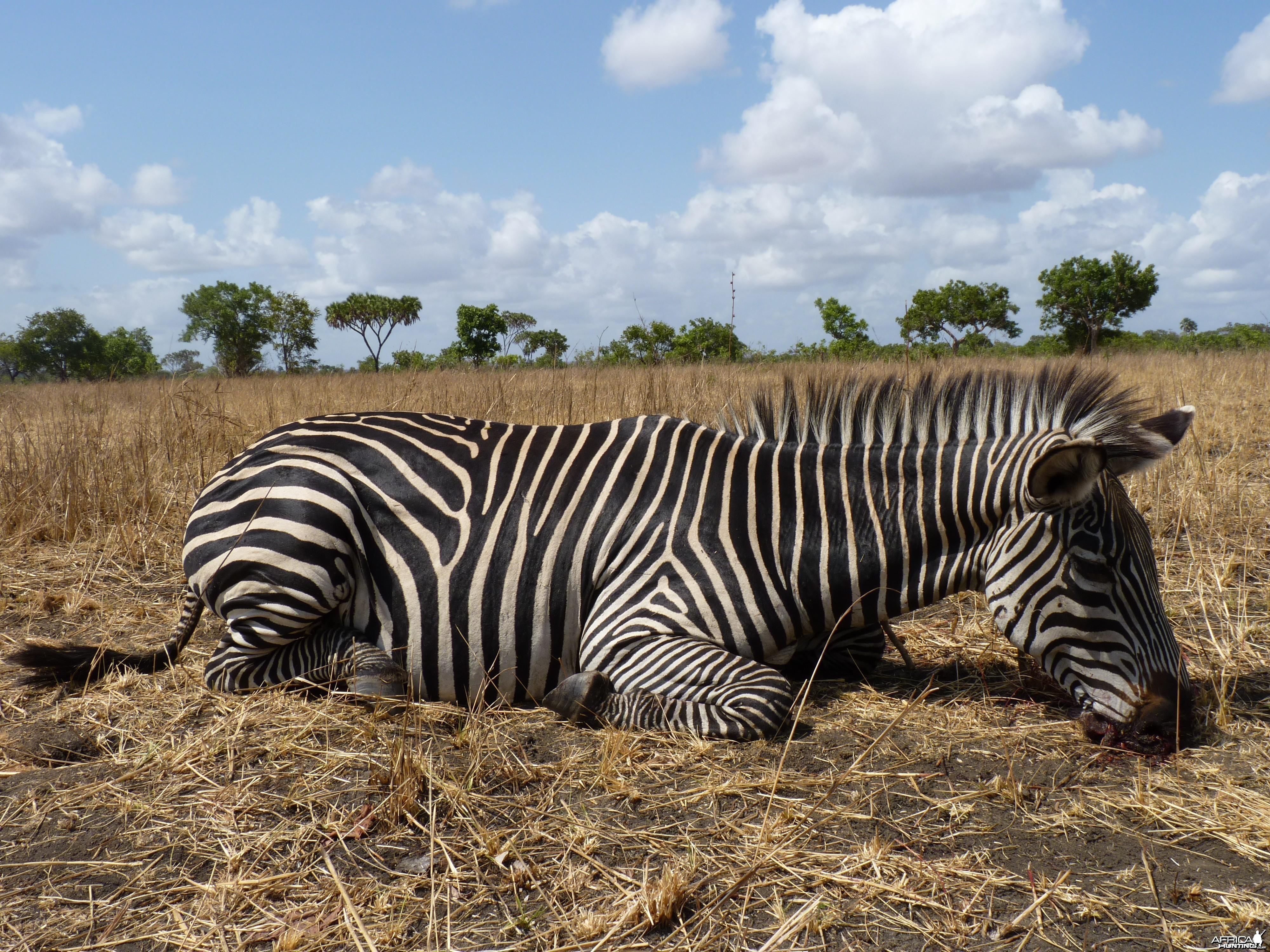 Hunting Zebra in Tanzania