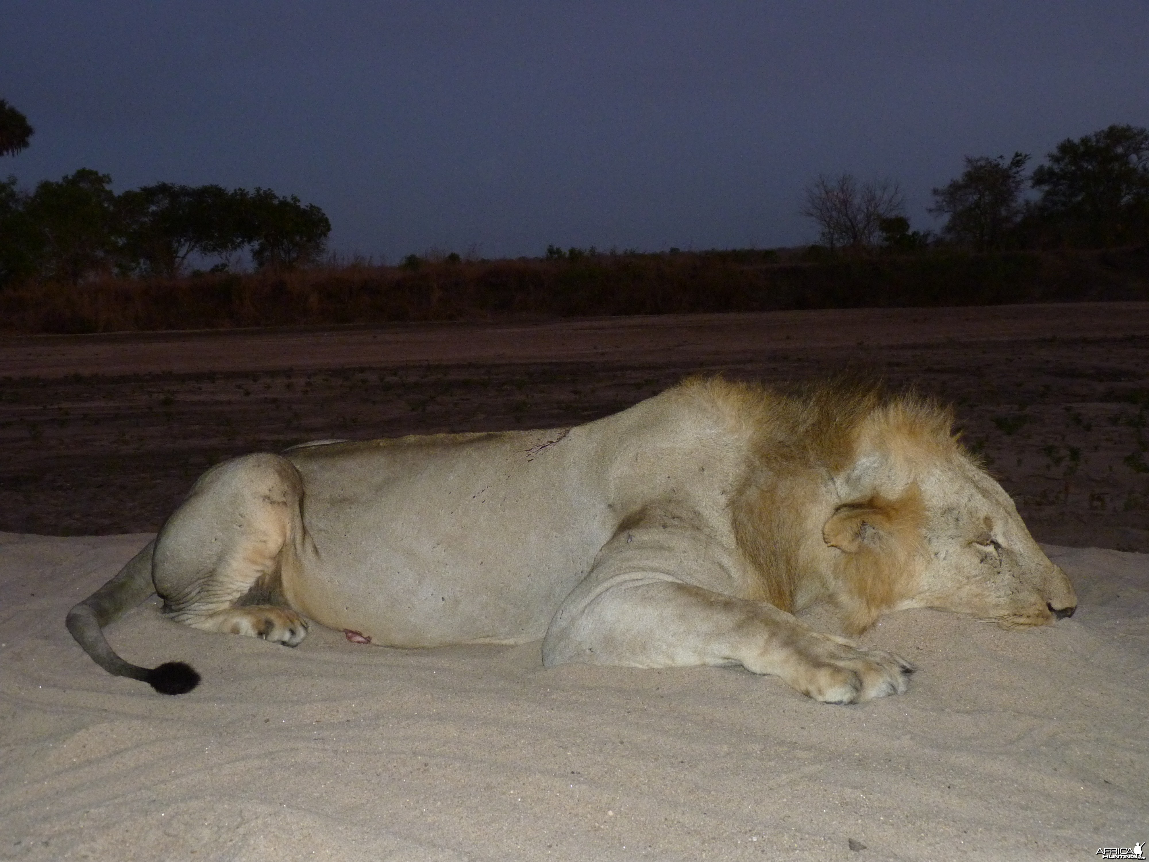 Hunting Lion Tanzania
