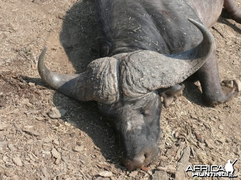 "41"" Buffalo hunted in MKuze Falls PGR, Kwazulu Natal, RSA"