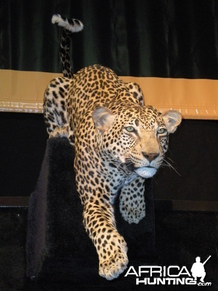 Taxidermy Leopard