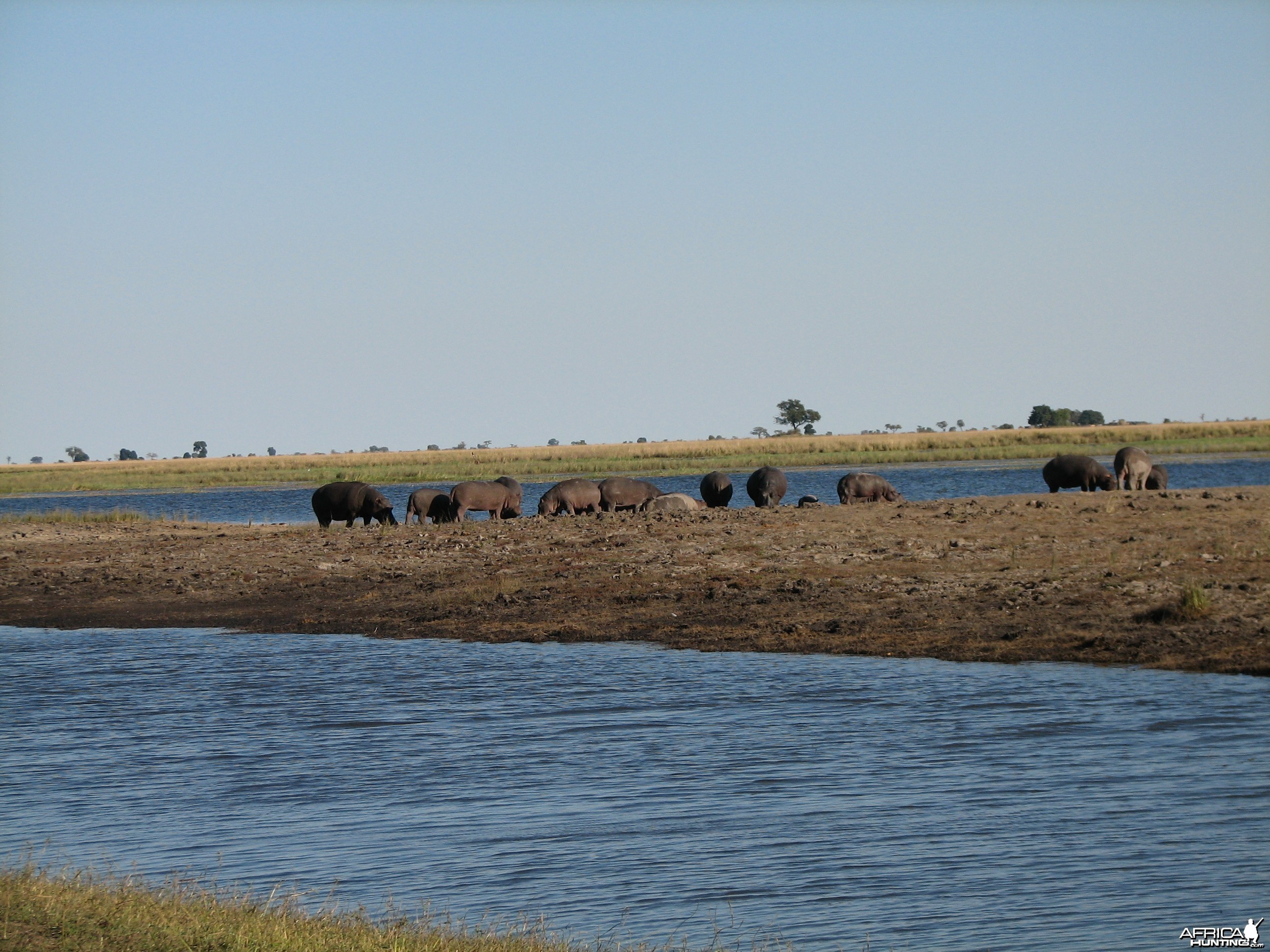 Hippos Chobe